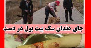 حمله سگهای پیتبول به دختربچه لواسانی + ماجرای آقازادگی صاحبان و تصاویر