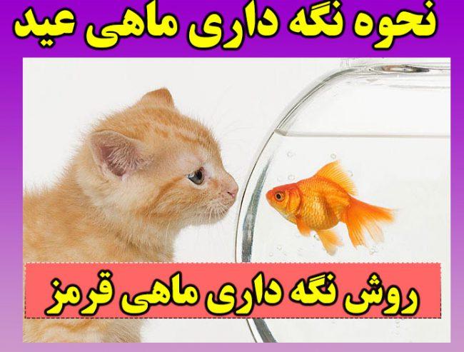 نحوه نگهداری ماهی قرمز عید + نکات مهم برای زنده ماندن ماهی قرمز