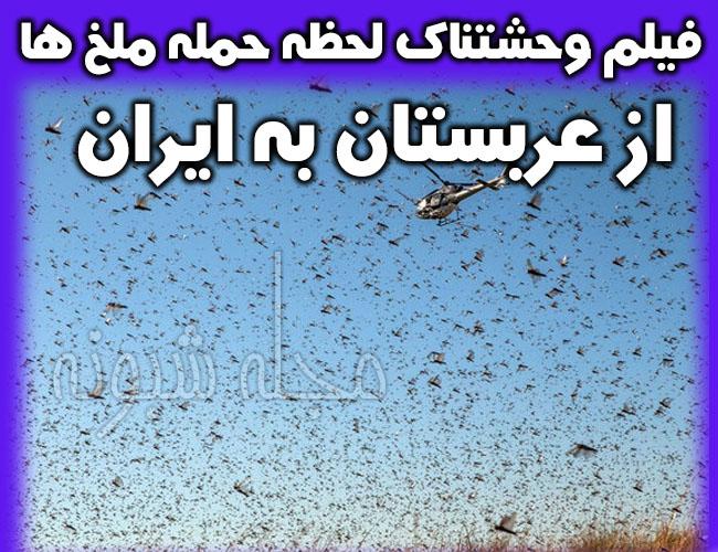 هجوم آفت ملخ به زمین های کشاورزی بوشهر و خوزستان و کرمان