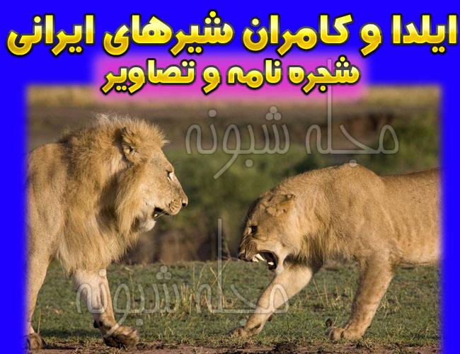 ایلدا شیر ماده ایرانی باغ وحش ارم + تصاویر هیرمان و ایلدا شیرهای ایرانی