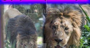 تصاویر هیرمان شیر نر ایرانی و عکس های شیر باغ وحش ارم +شجره نامه