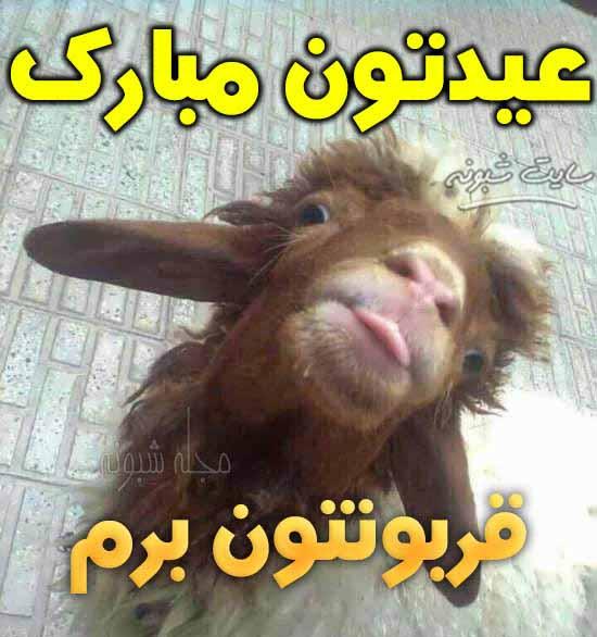 عکس خنده دار گوسفند برای عید قربان