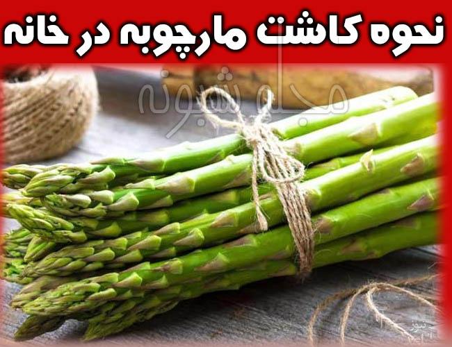 مارچوبه خوراکی نحوه کاشت و خرید + قیمت مارچوبه گیاه خوراکی