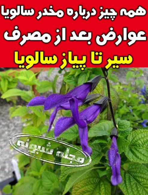 مخدر سالویا زامبی ساز و آدمخوار گیاه مریم گلی + عوارض خطرناک