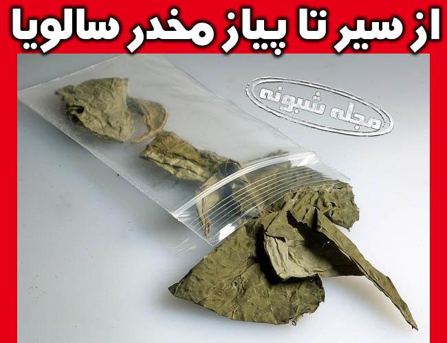 ماده مخدر سالویا زامبی ساز و آدمخوار گیاه مریم گلی + عوارض خطرناک