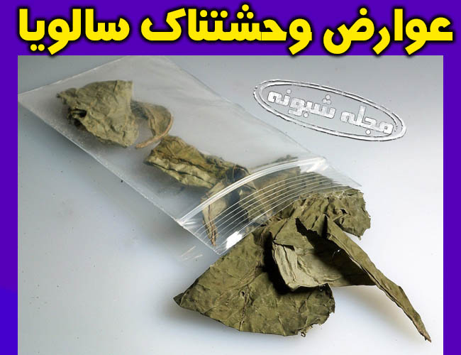 مواد مخدر سالویا زامبی ساز و آدمخوار گیاه مریم گلی + عوارض خطرناک