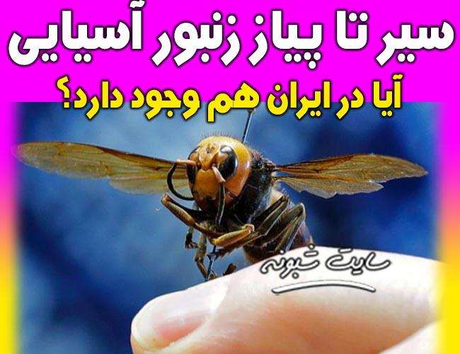 زنبور آسیایی یا زنبور قاتل آیا در ایران هم هست؟