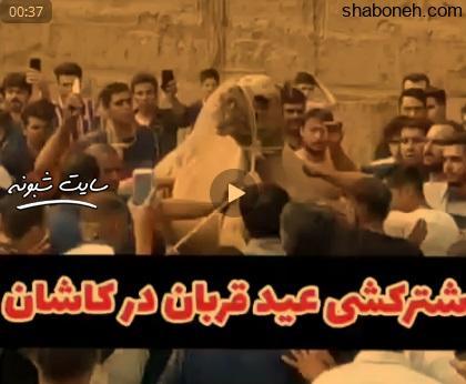 (فیلم) شتر کشی عید قربان در کاشان + ماجرا و جزئیات