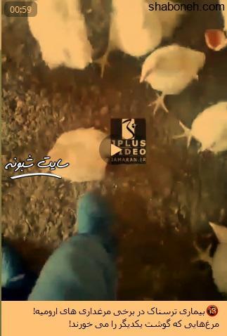 (فیلم) هم نوع خواری جوجه ها در ارومیه مبتلا به بیماری کانیبالیسم