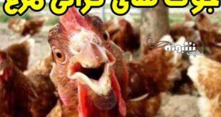 جوک گرانی مرغ و لطیفه های گران شدن مرغ جوک درباره مرغ +عکس طنز