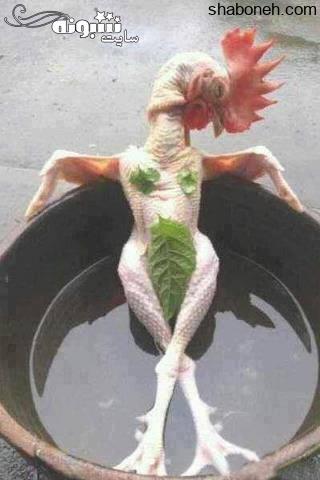 عکس خنده دار گرانی مرغ و لطیفه های گران شدن مرغ جوک درباره مرغ +عکس طنز