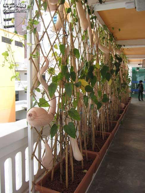 میوه loofah vietnam شبیه پستان زن